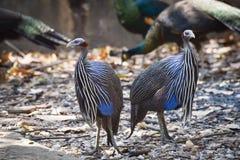 Vulturine Guineafowl Arkivfoto