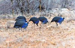 Vulturine Guineafowl Arkivbild