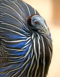 Vulturine guineafowl 3 Stock Image