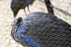 Vulturine Guineafowl Obrazy Royalty Free