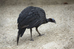Vulturine Guineafowl (Acryllium vulturinum) Stockfotografie