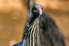 Vulturine guineafowl or Acryllium vulturinum in nature stock images