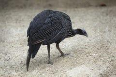 Vulturine guineafowl (Acryllium vulturinum). Stock Photography