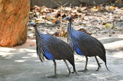 Vulturine Guineafowl Stock Images