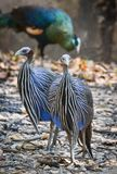Vulturine Guineafowl Royalty Free Stock Photography