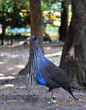 Vulturine Guineafowl Stock Photography