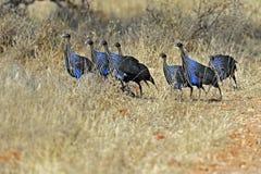Vulturine Guineafowl i savannahen Arkivbilder
