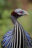 Vulturine parelhoen Royalty-vrije Stock Afbeeldingen