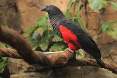 Vulturine parrot Royalty Free Stock Photo