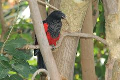 Vulturine parrot. Sitting on the tree royalty free stock photography