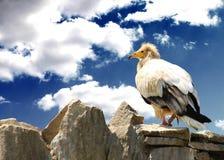 Vulturine Vogel auf dem Felsen Konzepte der Freiheit und der Stärke Lizenzfreie Stockbilder