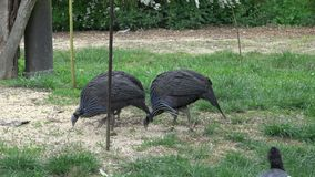 Vulturine vulturinum Guineafowl Acryllium stock video