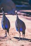 Vulurine-guineafowl (Acryllium-vulturinum) im Zoo auf Sommer Lizenzfreies Stockfoto