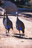 Vulurine guineafowl (Acryllium vulturinum) in the zoo on summer Stock Photography