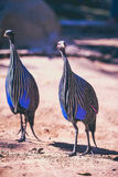 Vulurine guineafowl (Acryllium vulturinum) in the zoo on summer Royalty Free Stock Photo