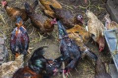 VUNGTAU, VIETNAM - 25. Dezember 2016 - bewirtschaften die Hühner, die Mais in der Landschaft essen Stockfotografie