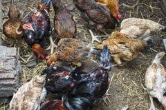 VUNGTAU, VIETNAM - 25. Dezember 2016 - bewirtschaften die Hühner, die Mais in der Landschaft essen Stockbild