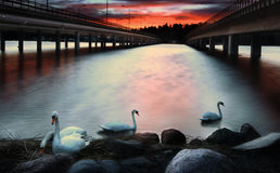 Vuosaari bridges with swans, Helsinki. Swans swimming under the cloudy sky on a red sunset between double bridges leading to Vuosaari, Helsinki Royalty Free Stock Photo