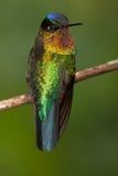 Vurig-Throated neergestreken Kolibrie Stock Afbeeldingen