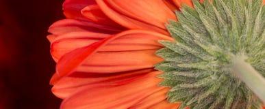 Vurige Rode Gerber-Paraplu royalty-vrije stock afbeeldingen
