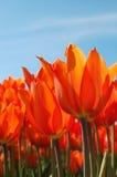 Vurige Tulpen Stock Afbeelding