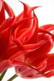 Vurige tulpen Royalty-vrije Stock Foto's
