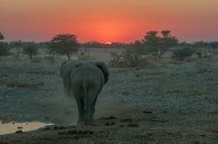 Vurige zonsondergang met olifanten die in de zonsondergang lopen Royalty-vrije Stock Afbeelding