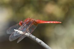Vuurlibel, vasto color scarlatto, erythraea di Crocothemis fotografia stock libera da diritti