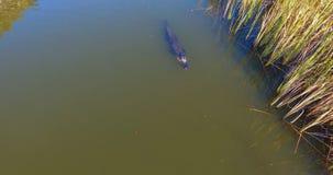 Vuxen amerikansk alligator som kryssar omkring i fjärden Royaltyfri Bild