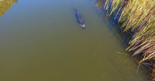 Vuxen amerikansk alligator som kryssar omkring i fjärden Arkivbild