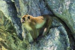 Vuxen apa som sitter på klippan och bevakar packen fotografering för bildbyråer