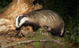 Vuxen bäverskinn, Meles Meles som söker efter föda på en inloggning en UK-skog Royaltyfri Fotografi
