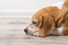 Vuxen beaglehund Royaltyfria Foton