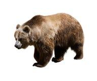 Vuxen björn isolerat royaltyfri bild