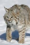 vuxen bobcat Royaltyfri Fotografi