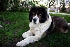 Vuxen Caucasian herdehund Den fluffiga Caucasian herdehunden är l Fotografering för Bildbyråer