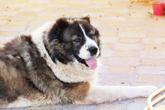 Vuxen Caucasian herdehund Den fluffiga Caucasian herdehunden är l Royaltyfria Foton