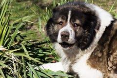 Vuxen Caucasian herdehund Den fluffiga Caucasian herdehunden är l Arkivfoton