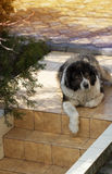 Vuxen Caucasian herdehund Den fluffiga Caucasian herdehunden är l Royaltyfria Bilder