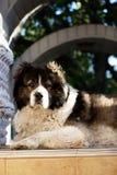 Vuxen Caucasian herdehund Den fluffiga Caucasian herdehunden är l Royaltyfri Fotografi