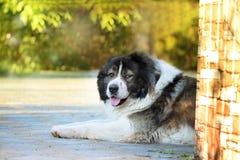 Vuxen Caucasian herdehund Den fluffiga Caucasian herdehunden är l royaltyfri bild