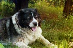 Vuxen Caucasian herdehund Fluffig Caucasian herdehund Fotografering för Bildbyråer