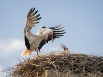 Vuxen Ciconiaciconia för vit stork som matar dess fågelunge Arkivfoto