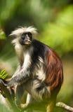 vuxen colobus male röda zanzibar Arkivfoto