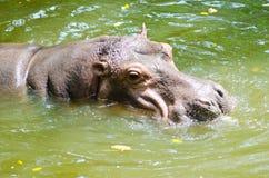 Vuxen flodhäst i vattnet Royaltyfri Bild