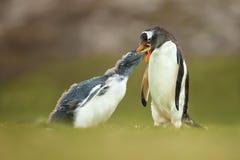 Vuxen gentoopingvin som matar en ung fågelunge Royaltyfri Bild