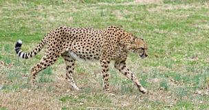 Vuxen gepard som lägger i dalen Royaltyfria Bilder