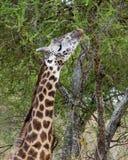 Vuxen giraff som betar i ett trädcloseuphuvud och hals Royaltyfri Foto