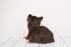 Vuxen hund för nätt brun chihuahua som ligger se ner upp sett från Fotografering för Bildbyråer