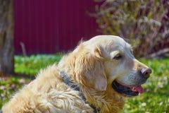 Vuxen hundgolden retriever som sitter i trädgård Royaltyfri Foto